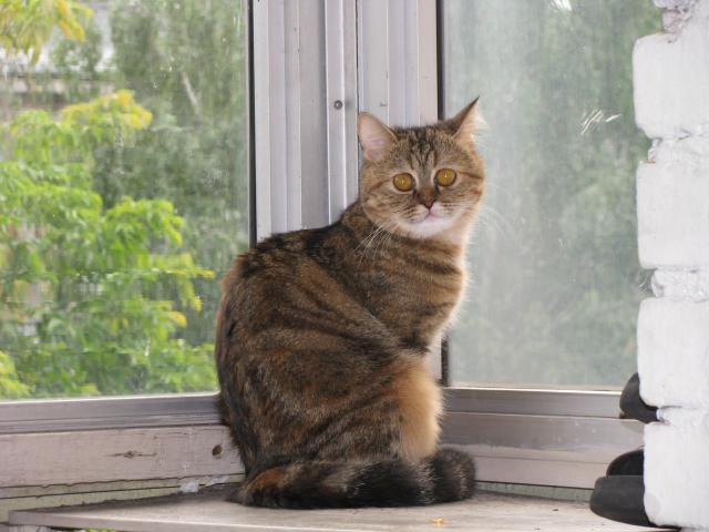 Вязка: Ищем кота для вязки фото2