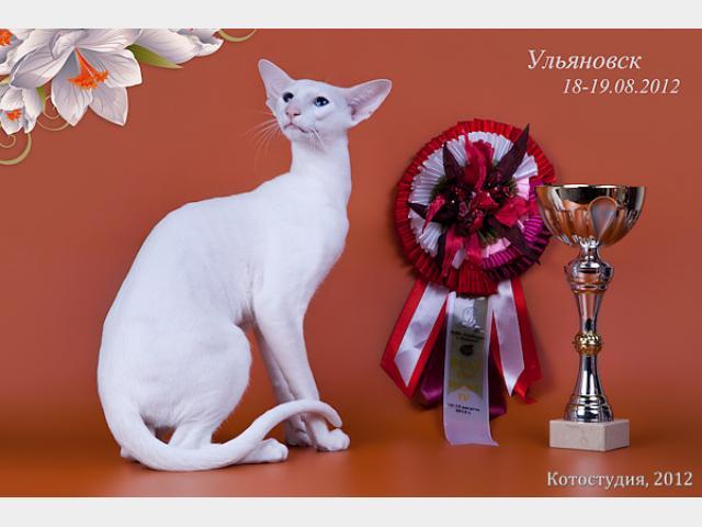 Вязка: Белоснежный кот ориентальной породы, вязка