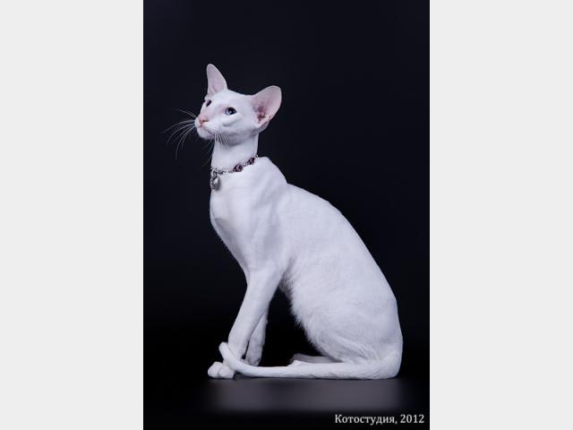 Вязка: Белоснежный кот ориентальной породы, вязка фото2