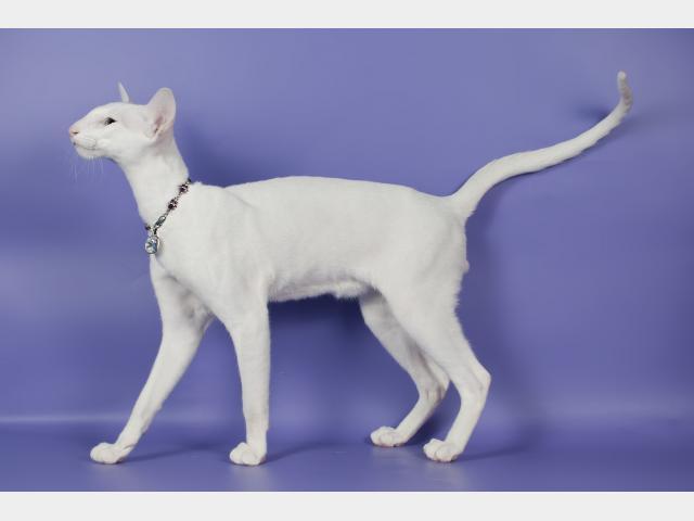 Вязка: Белоснежный кот ориентальной породы, вязка фото3