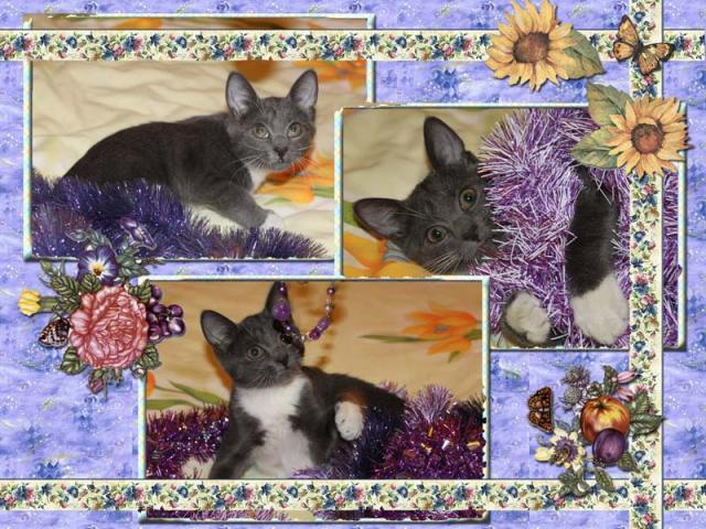 Отдам в дар: Ищет дом серебристая котенка-снегурка  фото2