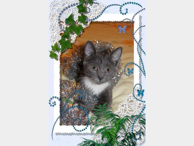 Отдам в дар: Ищет дом серебристая котенка-снегурка  фото3
