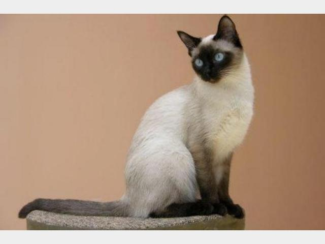 Отдам в дар: Возьму в дар котёнка сиамского для друга в подарок