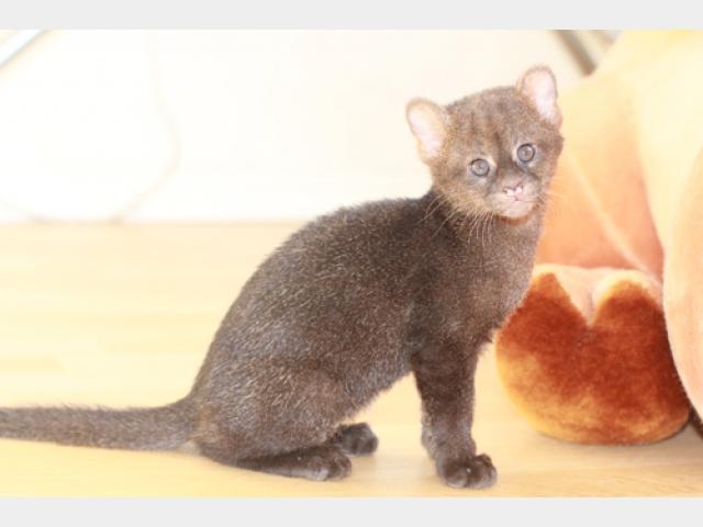 Продаю: Котята Ягуарунди фото2