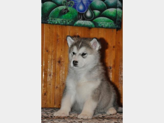 Продаю: тся щенки Аляскинского маламута