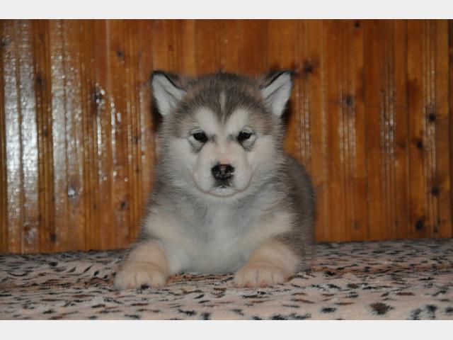 Продаю: тся щенки Аляскинского маламута фото2