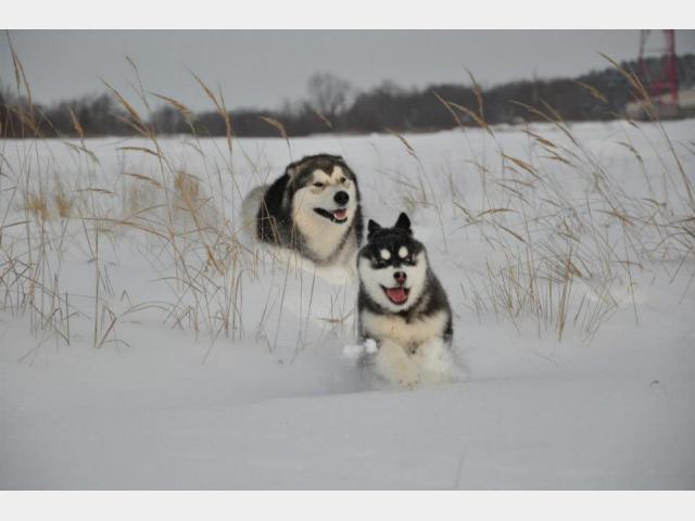Продаю: тся щенки Аляскинского маламута фото3