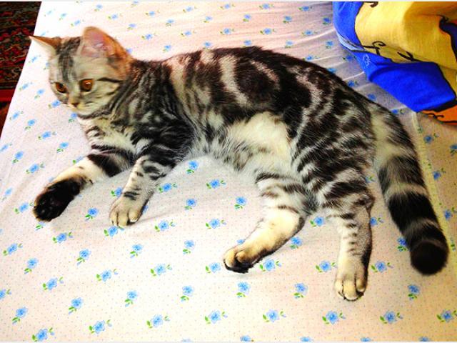 Вязка: Кошечка ищет жениха