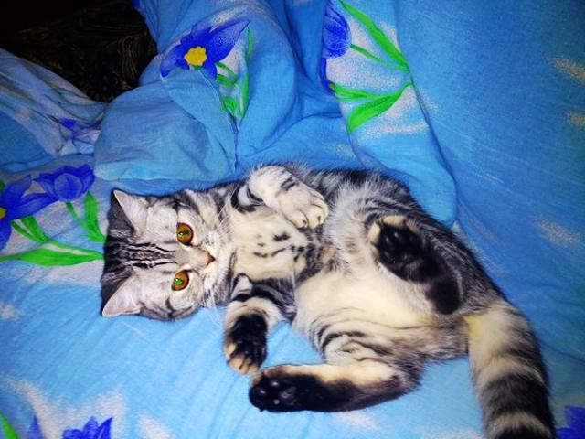 Вязка: Кошечка ищет жениха фото2