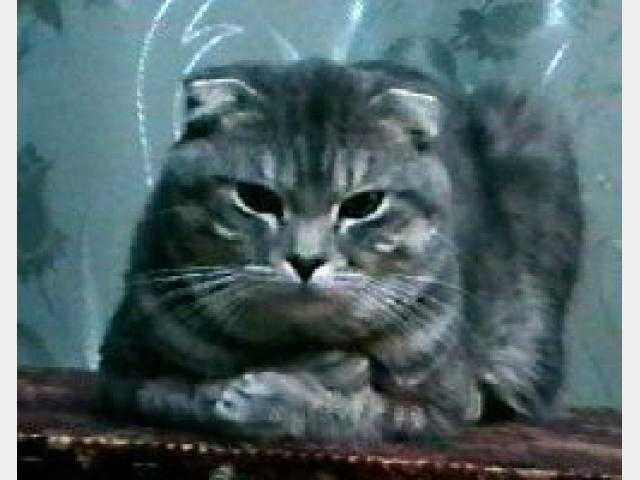 Вязка: Красавец скоттиш-фолд Вязка