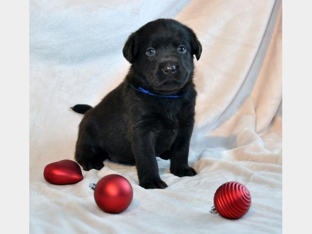 Продаю: Шоколадные щенки лабрадора фото3