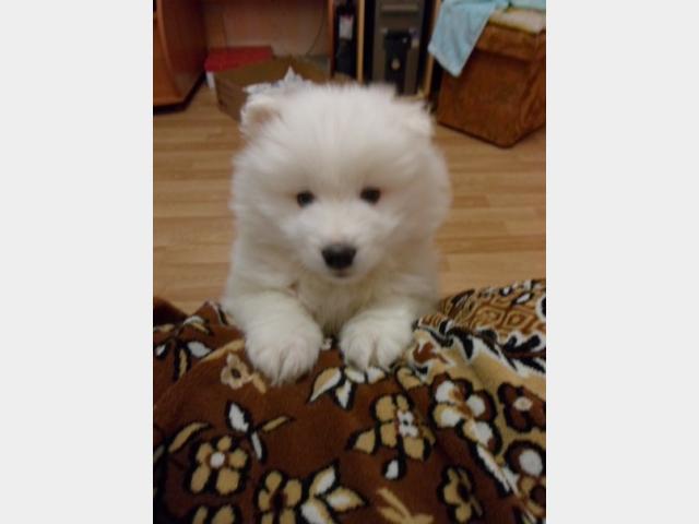 Продаю: Предлагается щенок породы Самоедская лайка фото3