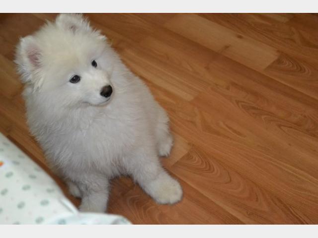 Продаю: Предлагается щенок породы Самоедская лайка фото2