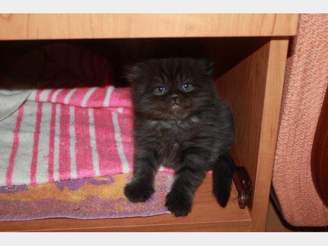 Продаю: Продается котенок