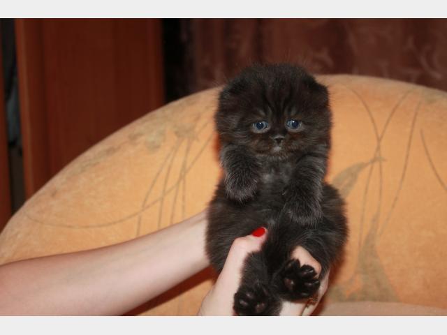 Продаю: Продается котенок фото2