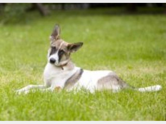 Отдам в дар: Самые умные подрощенные щенки фото2