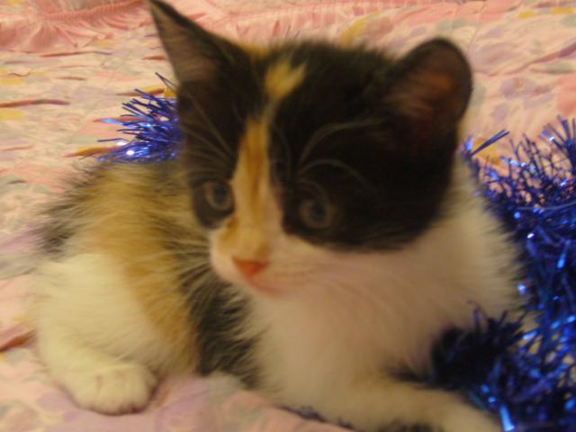 Продаю: Котята курильского бобтейла фото4