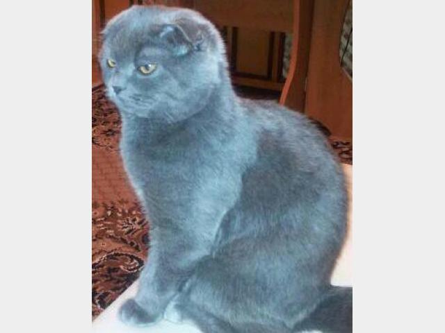Вязка: Шотландский вислоухий кот для вязки фото2