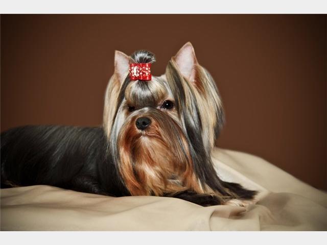 Продаю: тся щенки йоркширского терьера фото2