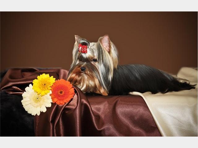 Продаю: тся щенки йоркширского терьера фото3