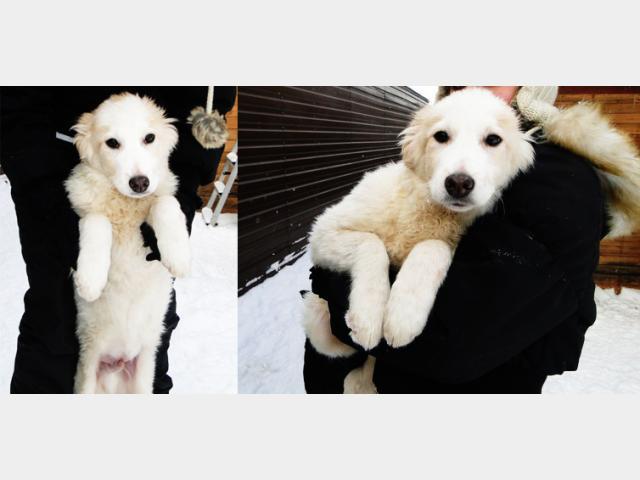 Отдам в дар: Невероятно красивый щенок в добрые ручки