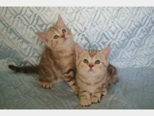 Продаю: Породистые шотландские котята