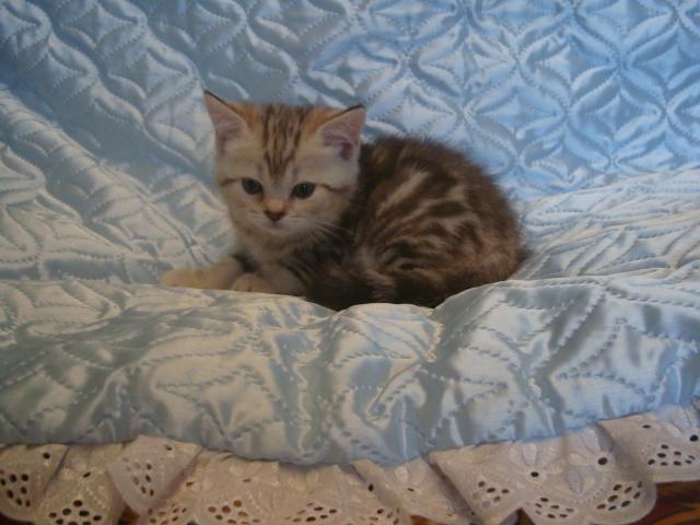 Продаю: Породистые шотландские котята фото2