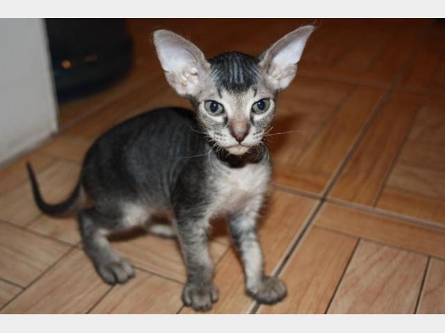 Продаю: Котята девон-рекс