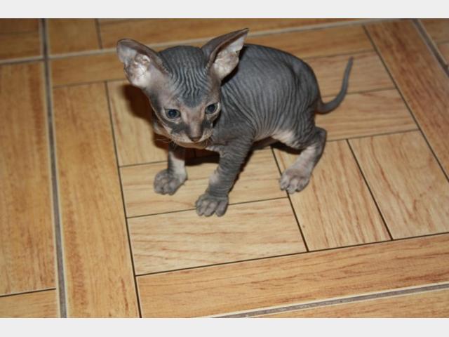 Продаю: Котята девон-рекс фото2