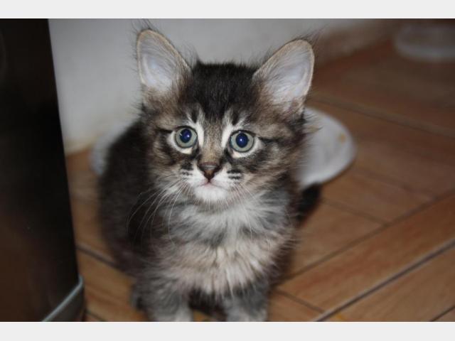 Продаю: Котята девон-рекс фото3