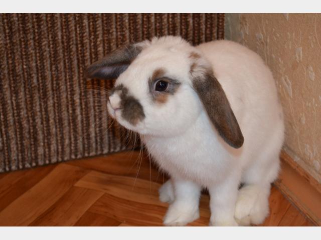 Отдам в дар: Вислоухий кролик в дар