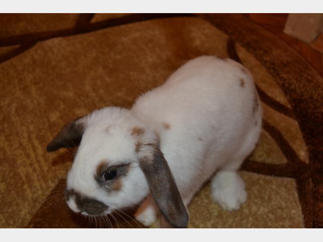 Отдам в дар: Вислоухий кролик в дар фото2