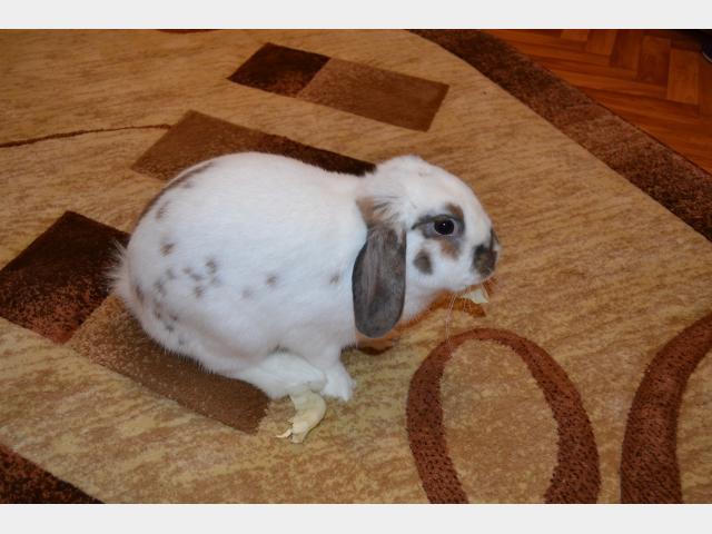 Отдам в дар: Вислоухий кролик в дар фото3