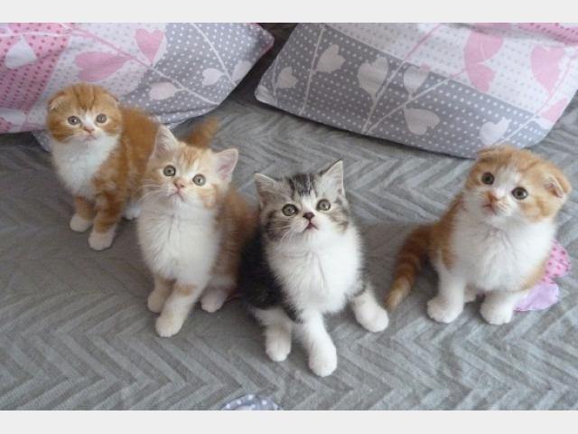 Продаю: Шотландские котята от родителей-чемпионов
