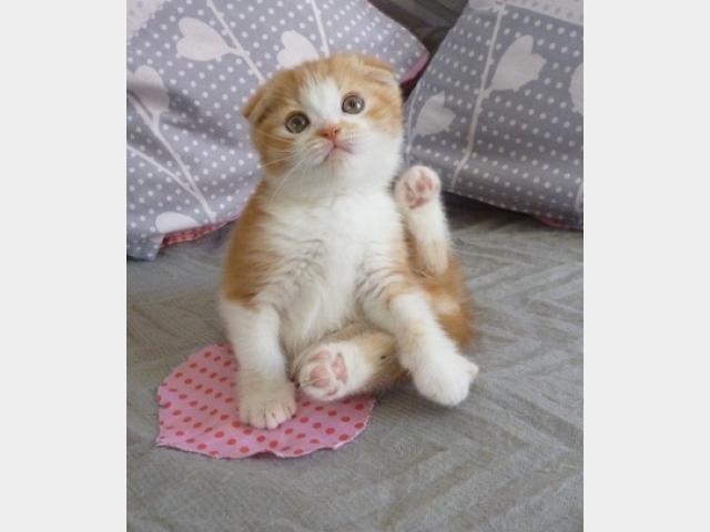 Продаю: Шотландские котята от родителей-чемпионов фото2