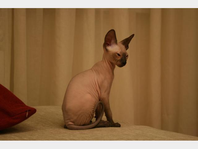 Продаю: Голубоглазая резиновая кошечка Донской Сфинкс фото2