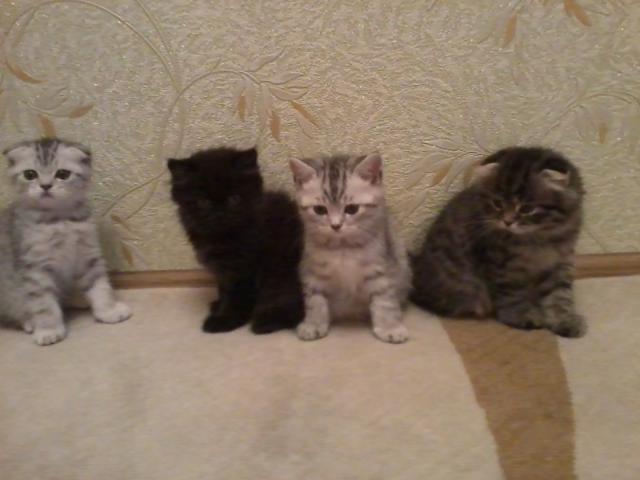 Продаю: Милые шотландские котята фото2