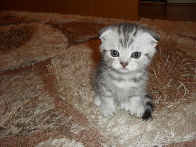 Продаю: Милые шотландские котята фото3