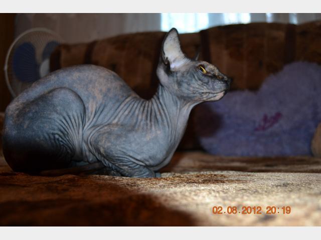 Продаю:  котят сфинксов не дорого