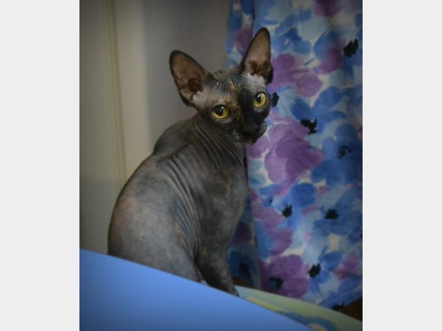 Продаю:  котят сфинксов не дорого фото2