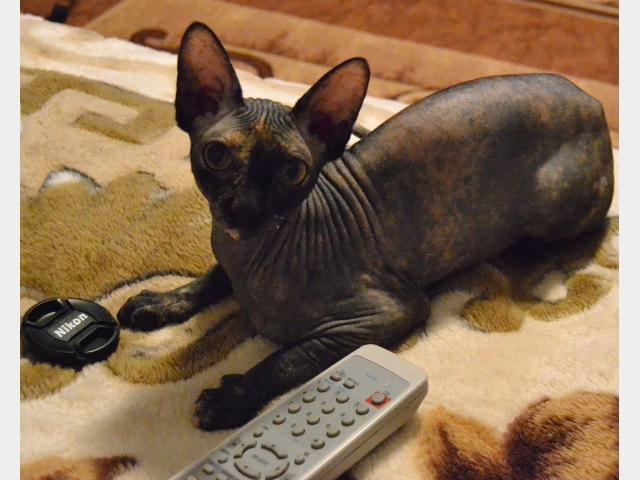 Продаю:  котят сфинксов не дорого фото3