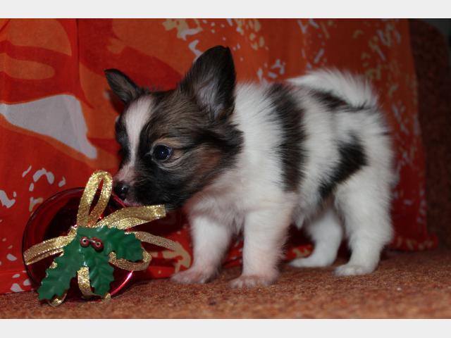 Продаю: Шикарные щенки папийона фото2