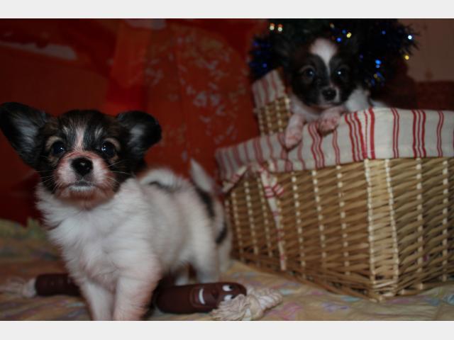Продаю: Шикарные щенки папийона фото3