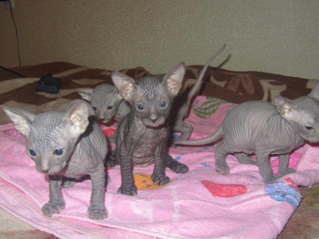 Продаю: тся красивые котята донского сфикса фото2