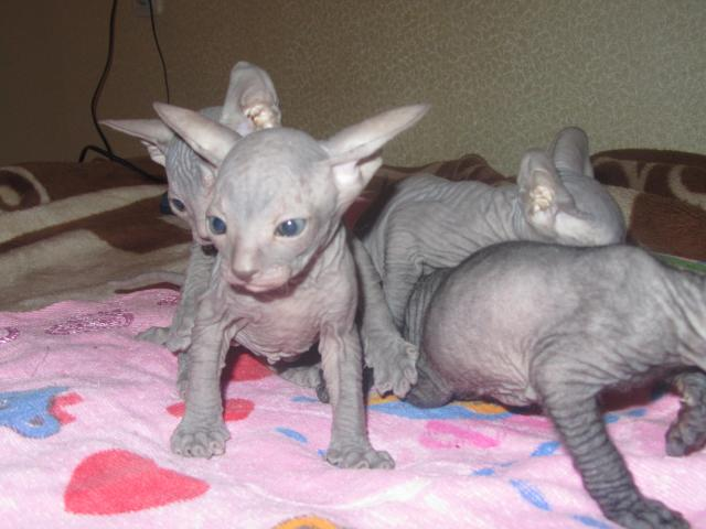Продаю: тся красивые котята донского сфикса