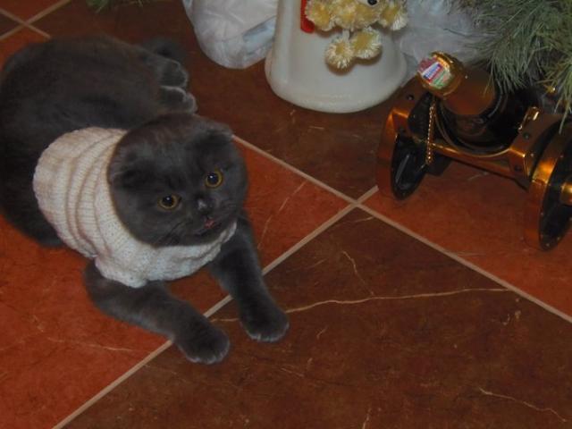 Вязка: Кот ищет кошечку для вязки фото3