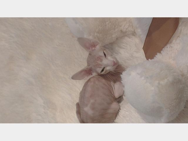 Продаю:  котенка канадского сфинкса