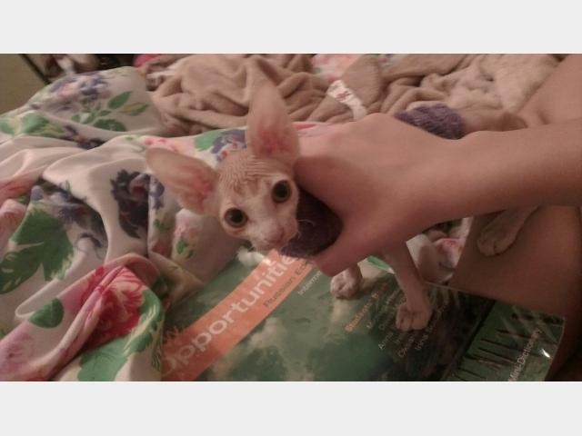 Продаю:  котенка канадского сфинкса фото3