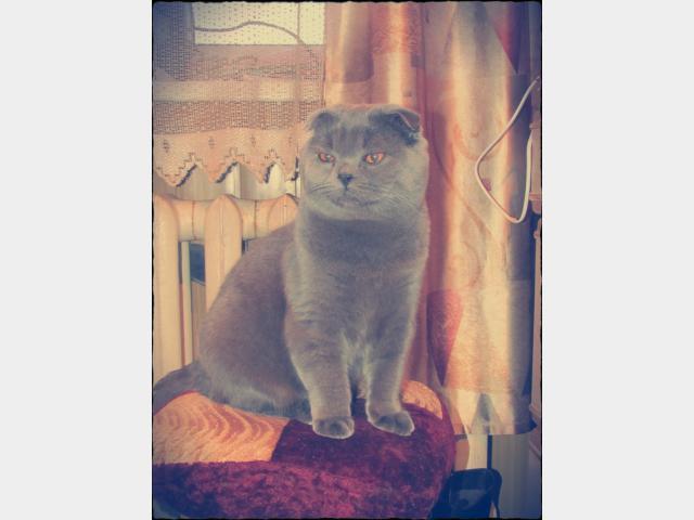 Вязка: Шотландский Вислоухий кот, вязка