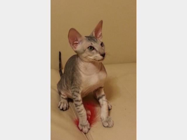 Продаю: Котята петерболды из питомника Country Desiree фото3